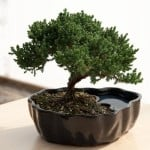 Juniper Bonsai 6