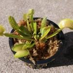 Adult Venus Flytrap
