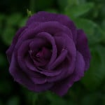 Dark Purple Rose Seeds